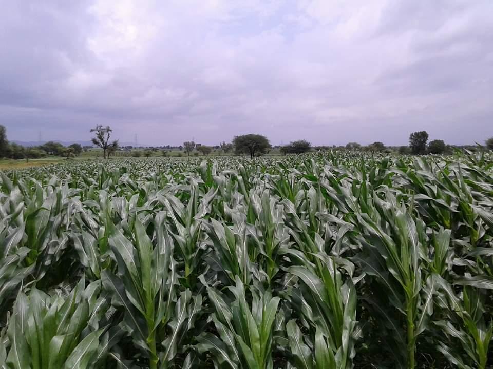 मका लागवड माहिती - sweet corn farming in india 2021