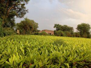 हळद लागवडीच्या पद्धती, Turmeric Farming 2021