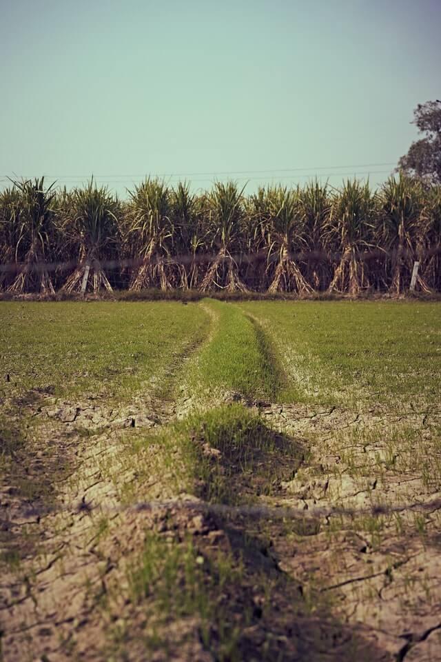 Sugarcane Farming - असे काढा उसाचे पीक आणि मिळावा लाखोंचे उत्पन्न 2021