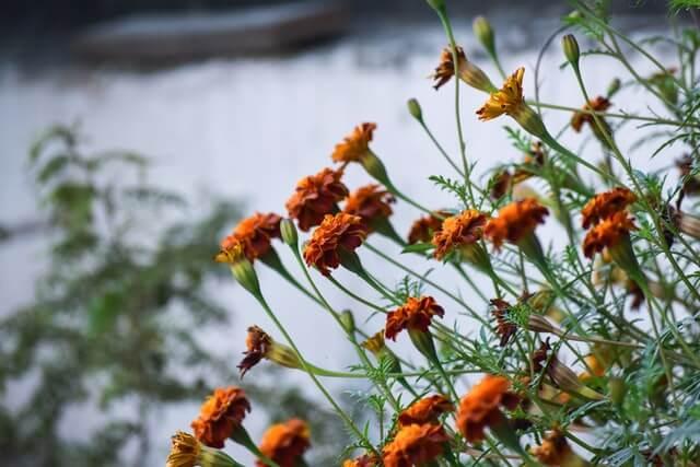 Marigold farming - झेंडू फुलशेती कशी करावी ज्यामुळे होईल लाखोंचे उत्पादन होईल 2021