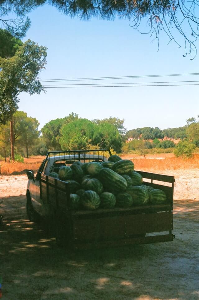 Watermelon Farming In India - टरबूज आणि खरबूज पिकाची लागवड करून मिळावा लाखोंचे उत्पन्न
