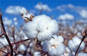 बीटी कापूस लागवड तंत्रज्ञान - bt cotton farming 2021