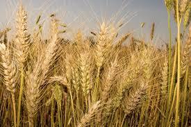 गहू पिकाचे ( wheat farming 2021 ) नवीन वाण, मिळेल भरपूर उत्पन्न