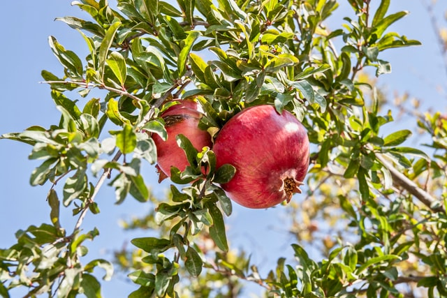 Pomegranate Farming - अशी करा डाळींब लागवड व मिळावा लाखोंचे उत्पादन 2020